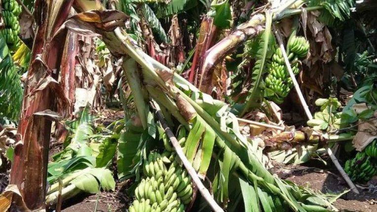 अवेळी पावसाचा केळीबागांना फटका