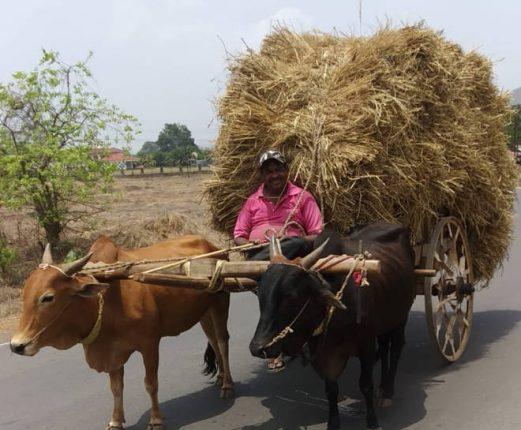 गुरांच्या चाऱ्यासाठी शेतकऱ्यांची वणवण