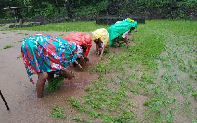 भोरमध्ये भाताच्या पिकाला जीवदान