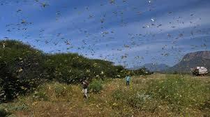 पिकांचं नुकसान करणाऱ्या टोळधाडी पासून शेतकरी बांधवानी सावध  राहावं