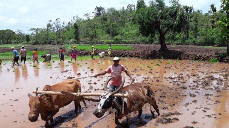 संकटकाळ असतानाही म्हसळयात शेतकरी राजाने उत्साहात केली भात लावणीला सुरुवात