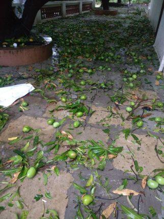निसर्ग चक्रीवादळामुळे आंबा बागायतदारांचे मोठे नुकसान