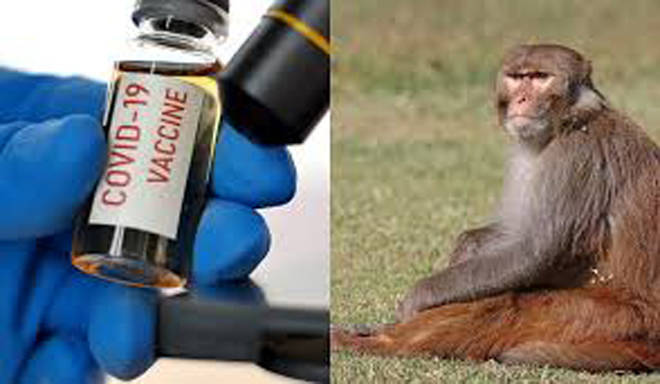 कोरोनाची लस विकसित करण्यासाठी ३० माकडांवर प्रयोग, राष्ट्रीय विषाणू विज्ञान संस्थेकडे वन खाते करणार माकडे सुपूर्द
