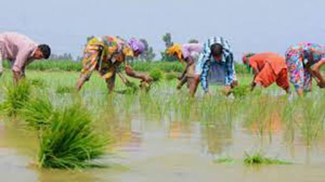 भात लावणीची कामे अंतिम टप्प्यात पण पावसाची हुलकावणी