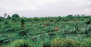 चक्रीवादळामुळे ऊसाचे पीक जमीनदोस्त झाल्याने शेतकऱ्यांचे नुकसान