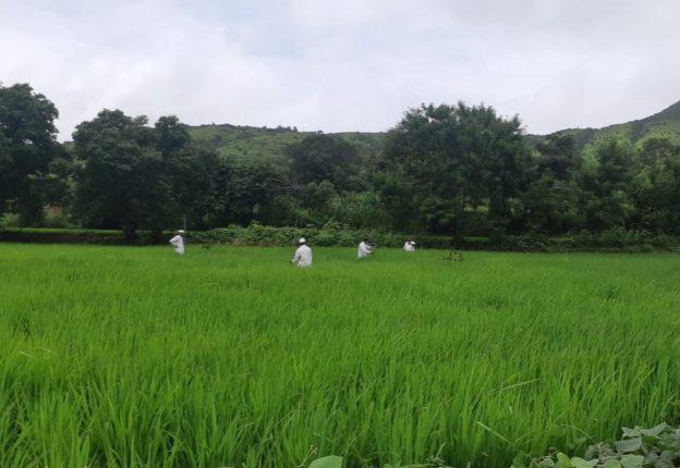 मावळमध्ये यंदा १०४ टक्के विक्रमी भात लागवड