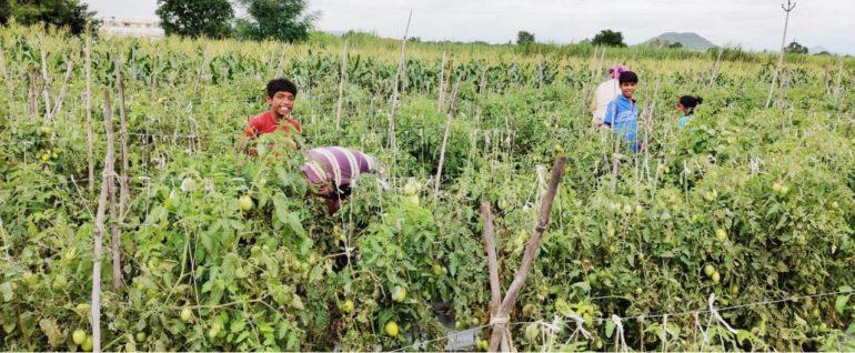 उत्पादन कमी झाल्याने टोमॅटोला 'भाव', मालच शिल्लक नसल्याने शेतकऱ्याला फटका