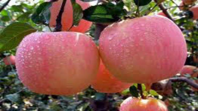 हिमाचल प्रदेशातील सफरचंदाची आवक सुरू