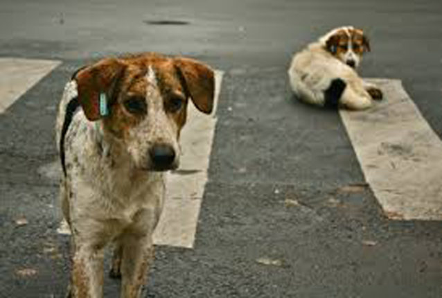 कोल्हापूरमध्ये तीन वर्षाच्या बालकाचे आठ भटक्या कुत्र्यांनी तोडले लचके