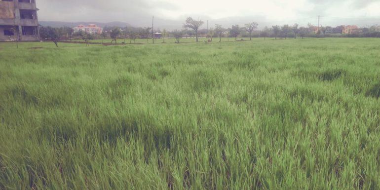 तळेगाव दाभाडेत पावसामुळे भात पीक जोमात