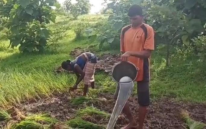 पावसाअभावी पालघरमधील भात लागवड अडचणीत