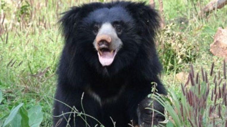 bear attack on men in kurkheda gadchiroli