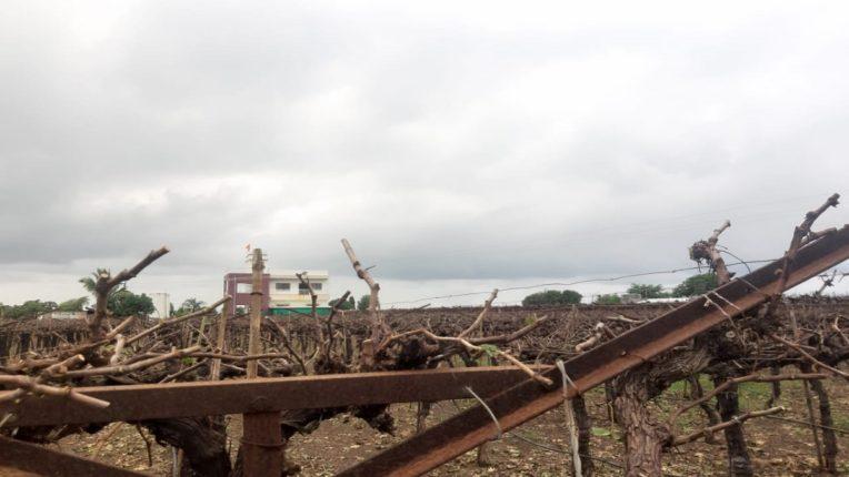 Pimpalgaon Baswant: Pruned vineyards