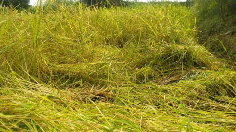 पालघरमध्ये डहाणू तलासरी भागात पाऊसामुळे भात शेतीचे मोठे नुकसान