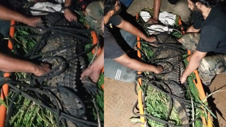 A-six-foot-tall-male-crocodile-from-the-Solapur-stream-was-finally-captured-by-the-Pune-rescue-team