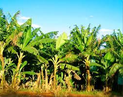 केळी पिकाच्या मूल्यवृध्दीसाठी अधिक संशोधन होणे गरजेचे : कुलगुरू डॉ.के.पी.विश्वनाथा