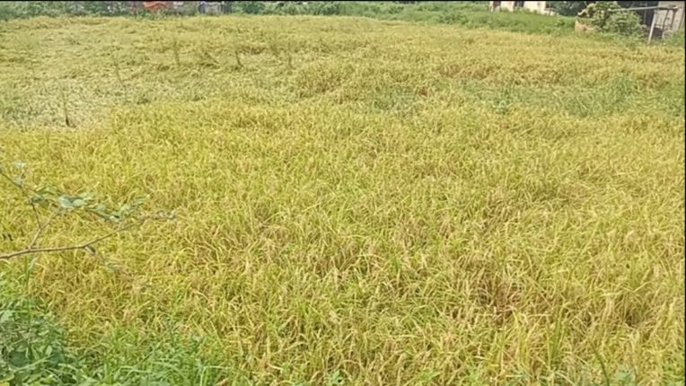 Damage to rice crop due to rains in wada area