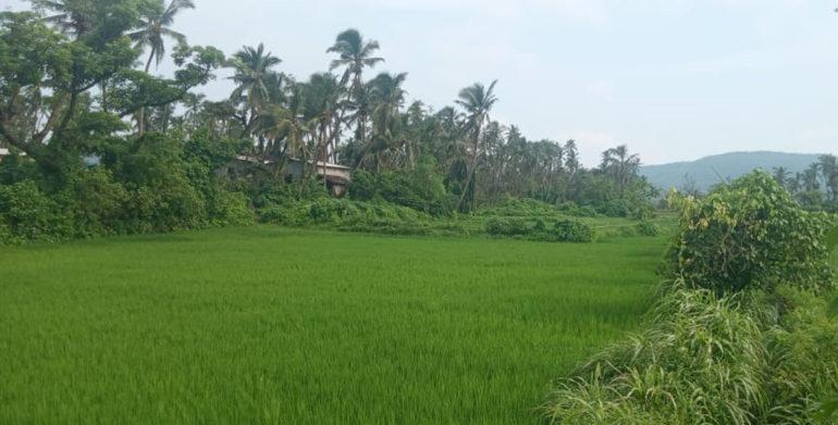 shreewardha rice crops