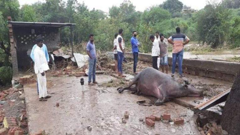 पिकं आणि जनावरं वाहून गेल्यानं शेतकऱ्यांचं अतोनात नुकसान झालं आहे.