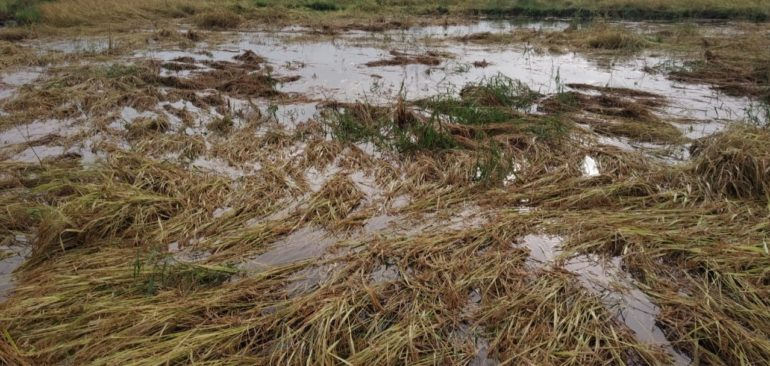 Loss of four thousand hectares of rice fields in Shahapur taluka