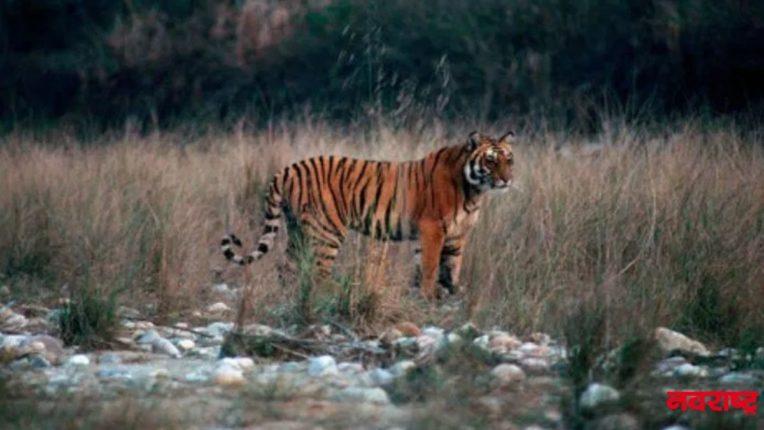t1 tiger