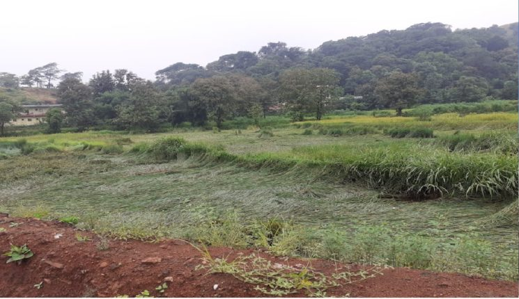 महाड तालुक्यात परतीच्या पावसाचा धुमाकूळ : भात शेतीचं प्रचंड नुकसान