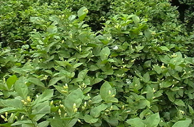mogra farming vikramgad