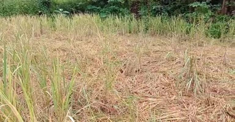 rice crops loss poladpur