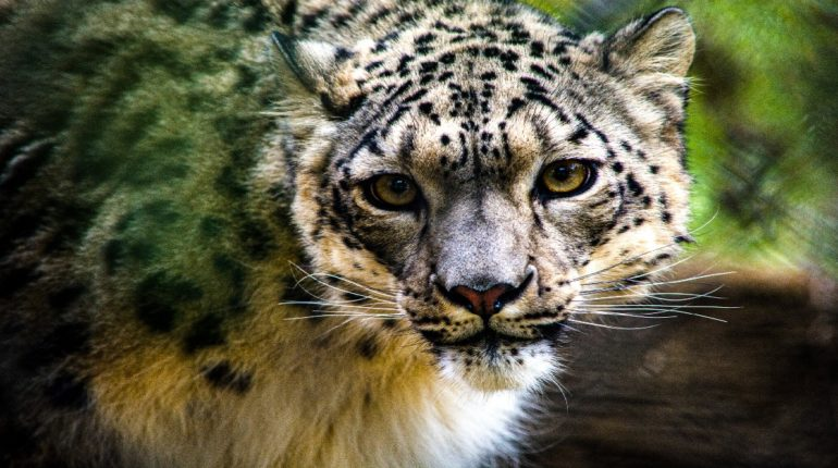 now leopard infected with corona, Quarantine done to museum animals