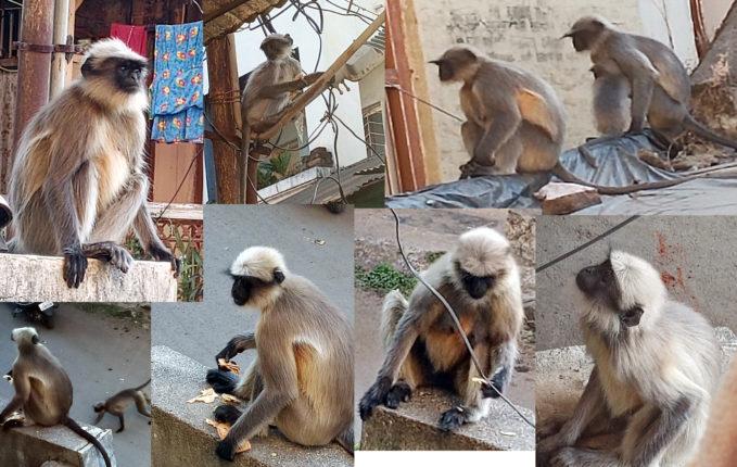 आता यांचे काय करायचे ? माकडांचा उच्छादाने सातारकर हैराण