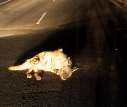 अज्ञात वाहनाच्या धडकेत तरसाचा मृत्यू