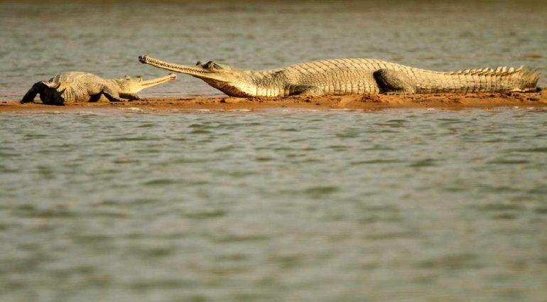 crocodiles on the shores of Chambal