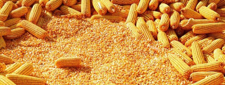 उत्पादक शेतकऱ्यांवर नवे संकट ; उद्दिष्ट पूर्ण झाल्याने मका खरेदी बंद
