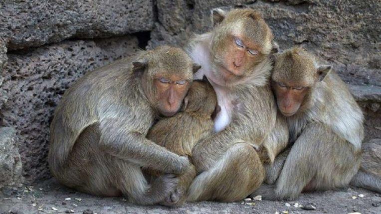 माकडांची केली कोरोना टेस्ट; 60 माकडांना केले 14 दिवसांसाठी क्वारंटाईन