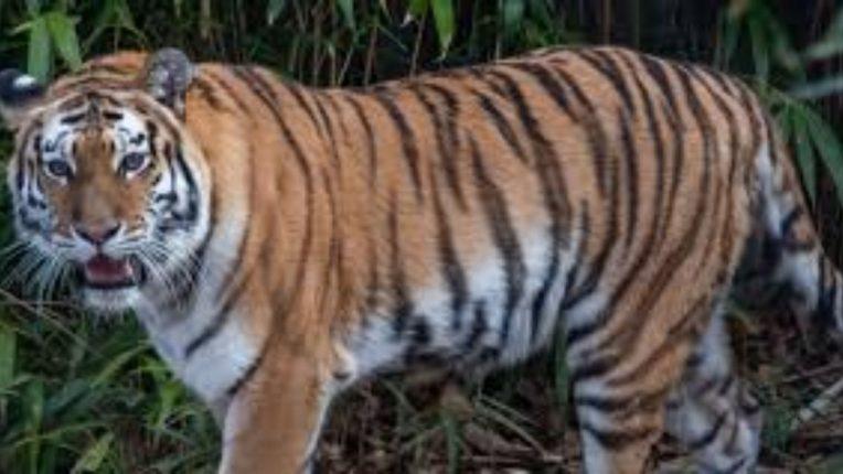 वाघ आता थेट गडचिरोली शहराच्या वेशीवरच; महिलेवर हल्ला करून मृतदेह ओढत नेला