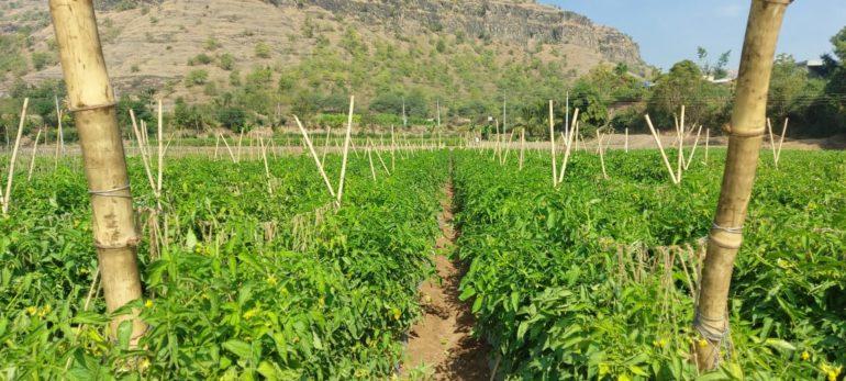 'आता जगावं तरी कसं?' तांगडी येथील शेतकर्यांचा उद्विग्न सवाल ;कोरोना विषाणूबरोबर आता टोमॅटोवर अनोख्या विषाणूचा प्रादुर्भाव