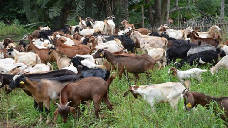 Pune youth arrested for stealing over 1000 goats