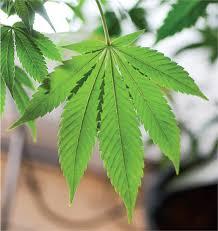 या देशात  गांजाला  'ड्रग्स' नव्हे तर  'औषध' म्हणून  मिळाली मान्यता