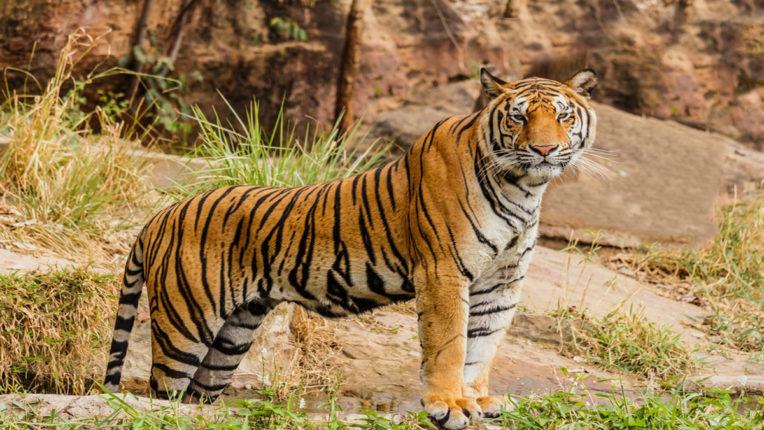 kanhalgav tiger