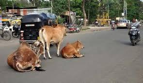 मोकाट जनावरांना आळा घालण्यासाठी स्वतंत्र हेल्पलाइन नंबर सुरु