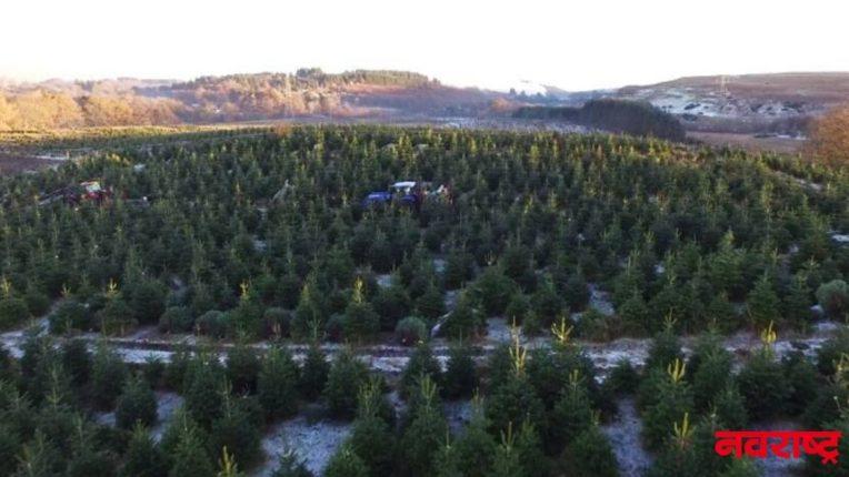'येथे' केली जाते ख्रिसमस ट्रीची शेती; जगभरात आहे मागणी