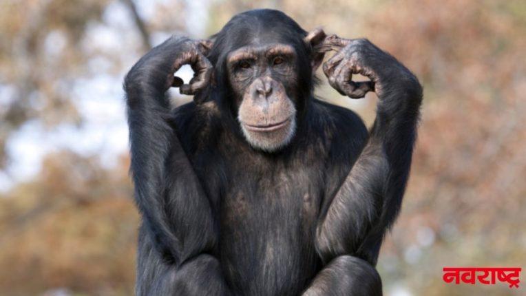 चिम्पांझी मानवापेक्षा स्वार्थी; संशोधनात आले समोर