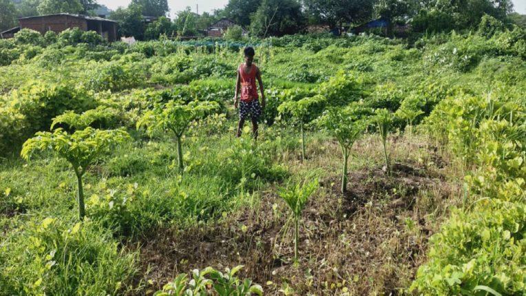 सुरण लागवड शेतकऱ्यांना ठरतेय वरदान, सफाळे परिसरात सुरणाची लागवड