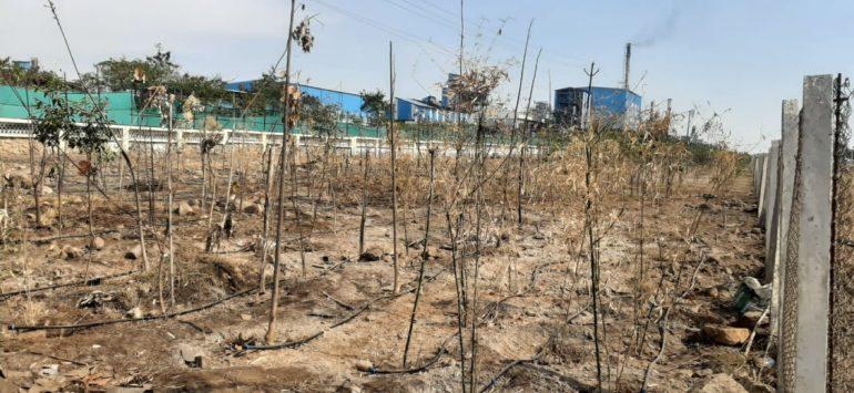 पांढरेवाडीत कंपनीचे केमिकलयुक्त सांडपाणी ;३४२ झाडे जळाली