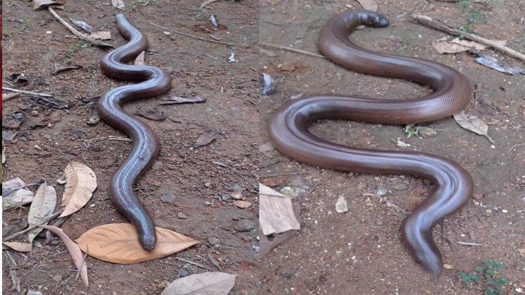 सर्पमित्राच्या घरात सापाने दिला एकतीस पिल्लांना जन्म ; शिरुर तालुक्यातील शिक्रापूर येथील घटना