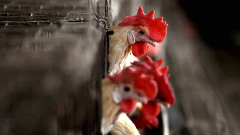 अंडी व पोल्ट्री मांस खाणे हे पूर्णत:सुरक्षित आहे- पशुसंवर्धन आयुक्त सचिंद्र प्रताप सिंह