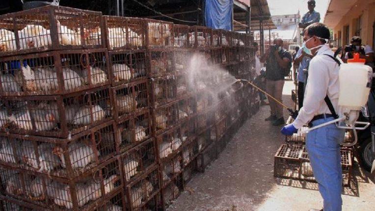 'बर्ड फ्लू'मुळे चिकन आणि अंड्यांचे भाव कोसळले, सध्या इतक्या रुपयांना मिळतंय चिकन