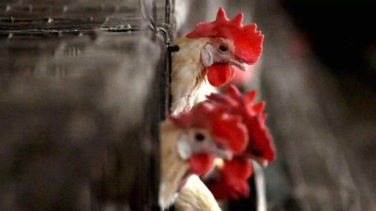 ठाण्यात बर्ड फ्ल्यू आला ; आजपासून शहरातील चिकन शॉपचा सर्व्हे झाला सुरू