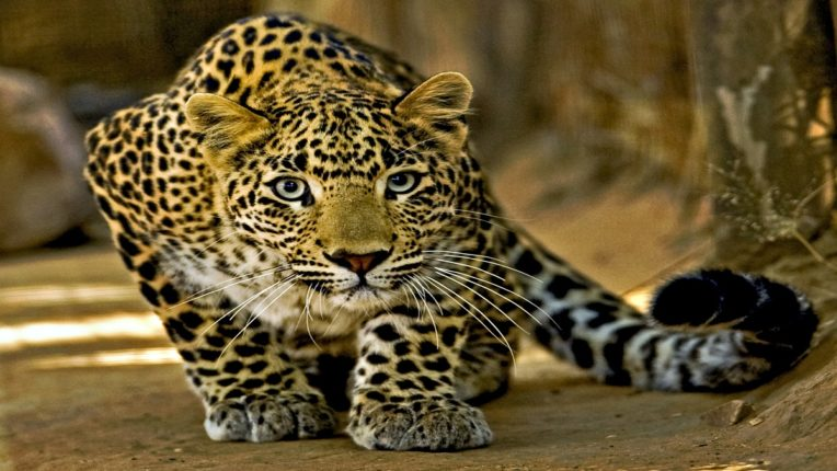In Kerala, leopard meat is cooked and eaten; Five arrested