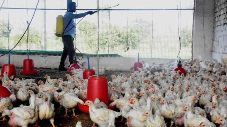 Outbreak of bird flu in Maharashtra Alert in Parbhani district; By evening, ten thousand hens will be killed and buried in the pit